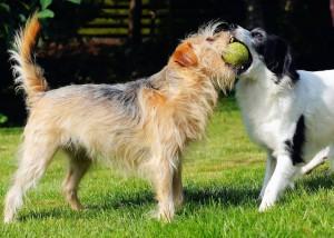 pet dogs